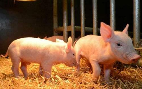 万博体育手机登录省泽州县发生非洲猪瘟疫情